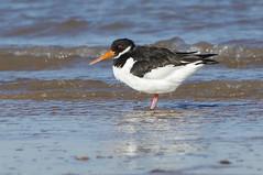 K32P7462a Oystercatcher, Titchwell Beach, February 2019 (bobchappell55) Tags: titchwell marsh norfolk wild bird wildlife nature wader oystercatcher haematopusostralegus