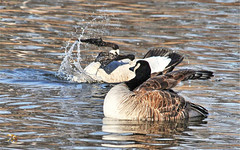 """""""Hey...What'cha Doin' There?"""" (Vidterry) Tags: goose canadagoose upsidedown cedarlake"""