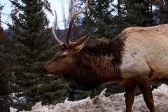DSC_0772 (Varanous) Tags: alberta animal nature elk canadianrockies rockies jasper nationalpark