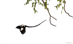 Magpie Shrike in flight (Theo Locher) Tags: africanlongtailedshrike corvinellamelanoleuca magpieshrike vogels birds oiseaux vögel kruger krugernationalpark southafrica zuidafrika copyrighttheolocher langstertlaksman