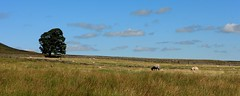High Plains Grazers (RoystonVasey) Tags: canon eos m 1855mm stm zoom north yorkshire dales ydnp coverdale sunshine
