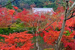 overview (tez-guitar) Tags: autumn 紅葉 autumn leaves pond water temple kyoto leicax1 leica wood forest trees