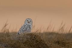 Snowy Owl (Kevin E Fox) Tags: snowyowl owl beach dunes raptor sunrise goldenhour bird birding birdwatching birds birdofprey sigma150600sport sigma nature nikond500 newjersey