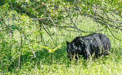 Bear in the wild (TDog54Photography / TCS Photography) Tags: black bear bears smoky mountains tennessee cades cove wildlife wild life animal american north america ursus americanus animals forest national park great