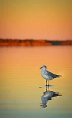 Ninigret Pond Sunset (RWGrennan) Tags: ninigret pond sunset lagoon water reflection bird light orange color calm charlestown ri rhode island rwgrennan rgrennan nikon d610 kayaking travel outdoors nature seagull gull ocean state