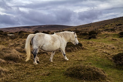 Wild White Dartmoor Pony (Christian Hacker) Tags: dartmoor nationalpark whitehorse dartmoorpony animal wildpony belstonetor moorland outandabout overcast cloudy grass heather mane landscape canoneos50d tamron1750mm animalencounter hills countryside rural beauty furry fur grazing devon uk
