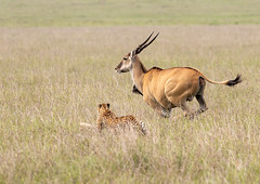 Cheetah & Eland (Photobirder) Tags: kenya cheetahchase eland masaimara eastafrica 5boys