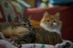 Boa (Light Echoes) Tags: sony a6000 2019 winter january cat chat kot gatto feline pet katze kat kalo котка gato gate gat animal 고양이 γάτα kočka 貓 القط kass kissa חתול बिल्ली miv macska kucing 猫 vighro kaķis katė qattus katten گربه pisica кошка mačka katt แมว kedi кішка بلی mèo cath rescue shorthairdomestic tabby lucy lucindamtoffeenose longhair randall bokeh