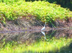 Egret reflection - Centenary Lakes, Cairns Australia (jeffglobalwanderer) Tags: egret bird reflection water pond centenarylakes cairns wildlife nature naturalarea parkland australia australianbird