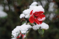 Schneeüberraschung (Frau Koriander) Tags: roseimschnee snow schnee rose roses flower flora nature natur rosenhöhe darmstadt dof depthoffield weather cold winter nikond300s nikkor60mmf28 bokeh makro plant green redroseinsnow eingeschneit wintereinbruch rosepetal blütenblätter
