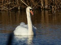 Max zoom @ 40 yards sooc 17.1.19 (ericy202) Tags: mute swan 40yardsdistance maxzoom sooc water reeds