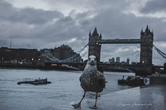 Tower Bridge surprise (baridue) Tags: towebridge londra gabbiano tamigi england viaggiare sky colours
