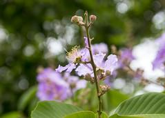 Borubudur (Hans van der Boom) Tags: vacation holiday asia indonesia indonesië java flower pale pink borubudur id