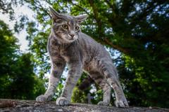 Gefahr (buchsammy) Tags: 2018 august haustier katze sommer sonyalpha9 sonyfe1635mmf4zaoss tier usedom animal cat pet