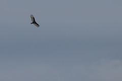 IMG_4437 (armadil) Tags: prairie ranchocorraldetierra bird birds vulture turkeyvulture flying
