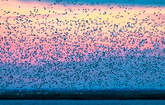 Pre-dawn take-off (tresed47) Tags: 2019 201901jan 20190128bombayhookbirds birds bombayhook canon7dmkii content delaware flicker folder goose january peterscamera petersphotos places season snowgoose takenby us winter