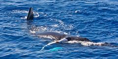 On its side (Kirt Edblom) Tags: maui mauihawaii hawaii whalewatching gaylene grandkids wife water waves milf whale blue bluewater ocean pacific pacificocean humpback kirt kirtedblom edblom luminar nikon nikond7100 nikkor55300mmf4556