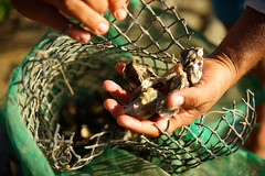 Oysters - fresh from the river (peter_a_hopwood) Tags: oysters atlantic brazil ceara october 2018 sony a99
