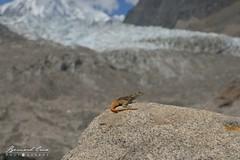 Lézard devant le glacier et le pic de Passu © Bernard Grua (Photos de voyages, d'expéditions et de reportages) Tags: glacier karakoram lézard montagne hunza gojal bernardgrua passu gilgitbaltistan pakistan