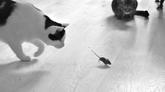 Game of life (Ivelin Aleksandrov) Tags: animals cat hunt wild mouse pets everydaylife predator eyes