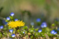 _DSC8241-Edit (shoji imamura) Tags: spring flower dandelion yellow veronica persica blue japan tokyo machida yakushiike 春 町田 東京 薬師池 薬師池公園 タンポポ オオイヌノフグリ 花 野草