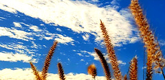 Pampas Grass (lightstagephotography) Tags: pampasgrass sky clouds blue arizona phone pics