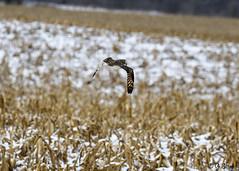 Short Eared Owl Over The Cornfield (Swift Wings) Tags: owl shortearedowl birdofprey raptor wildlife nature outdoors asioflammeus
