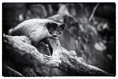 Yellow-throated marten, Corbett National Park, India (Free pictures for conservation) Tags: 2017 corbett india nationalpark wildlife nature mammal