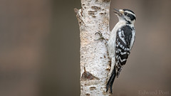 Downy Woodpecker (Picoides pubescens) (ER Post) Tags: bird downywoodpeckerpicoidespubescens woodpecker jenison michigan unitedstates us