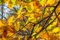 Golden sunshine through the  Oak leaves 💛💛 (Photo_stream_this) Tags: sherwood forest oak tree leaves woods branches