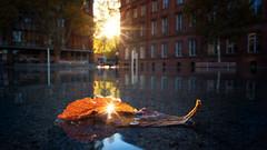 Autumn Reflection (kuehne.carsten) Tags: blatt herbst autumn freiburg deutschland germany water wasser reflections sun sunrise sonnenaufgang sonnenstern sunstars laowa15mmf2fe