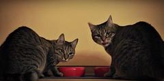Dinner for Bonnie and Clyde (Maquarius) Tags: katze tiger hauskatze zwei fressnapf fressen futter rot gelb