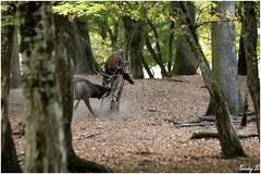 07.10.18 (CindyPix54) Tags: parc animalier sainte croix cerf brame loup