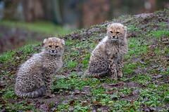 Zwei von Dreien (Mel.Rick) Tags: zoo tiere animals natur nature raubtiere carnivora raubkatzen grosundkleinkatzen kleinkatzen gepard acinonyxjubatus allwetterzoomünster säugetiere mammals