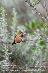 Allen's Hummingbird (Michael Zeigler) Tags: california usa wildlife huntingtonbeach mammal bird hummingbird northamerica bolsachicaecologicalreserve allenshummingbird selasphorussasin