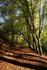 Beech tree on Collyers Hanger, Surrey 3 (Leimenide) Tags: north downs path shadows england autumn leaves beech tree collyers hanger surrey chilworth
