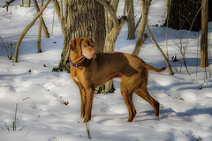 Spring's in the Air (Portraying Life, LLC) Tags: cropapsc hddfa5014 k1mkii michigan pentax ricoh unitedstates closecrop handheld nativelighting vizsla dog snow winter stepnout