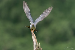 Take Off (DanRansley) Tags: britain danransleyphotography danransleynet england greatbritain uk animal bird birding conservation feathers nature ornithology wildlife flight birdinflight bif wings cuckoo cuculuscanorus commoncuckoo