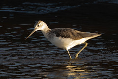 greenshank (colin 1957) Tags: greenshank wader thornham