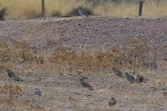 Stone Curlew (Burhinus oedicnemus) (Brian Carruthers-Dublin-Eire) Tags: stone curlew burhinus oedicnemus stonecurlew burhinusoedicnemus charadriiformes burhinidae thickknee oedicnèmecriard triel alcaraváncomún occhionecomune griel outdoor bird animalia animal aves avian nature wildlife portugal birdwatch birdwatching creature