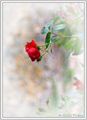 Juste une rose (GilDays) Tags: france quercy midipyrénées lot saintcirqlapopie nikon nikond810 d810 lesplusbeauxvillagesdefrance departementdulot espritlot tourismelot so0518 vert green occitanie massifcentral fleur flower rouge red rose