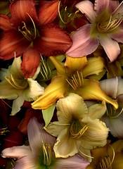 59287.01 Hemerocallis (horticultural art) Tags: hemerocallis daylily flowers perennial
