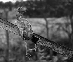 Holiday Bird (Tim @ Photovisions) Tags: bird nebraska fujifilm xt2 bridge fuji monochrome blackandwhite truss