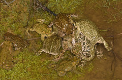 Natterjack Toad (Epidalea calamita) Mating ball. (Sky and Yak) Tags: nature naturalworld natterjack natterjacktoad toad amphibian reptilesandamphibians herpetology herp mating amplexus amplectant multipleamplexus spawn spawning pond water runningtoad running matingball wart stripe spain espagne europe european cordoba