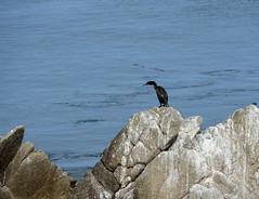 DSC_0327 (afagen) Tags: california pacificgrove montereypeninsula pacificocean ocean bird
