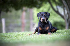 Riley chilling out on the grass (Riley-Dobe) Tags: doberman riley black nature bokeh d500 70200 nikon