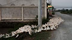 Vietnam - Rencontre sur la route de Tam Coc. (Gilles Daligand) Tags: vietnam baiedhalongterrestre tamcoc troupeau canards