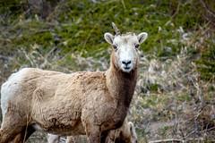 Uni-sheep (Alison Claire~) Tags: banff alberta canada nature landscape animal sheep national park canadian rockies horn closeup grass green fauna canon canoneos canoneos600d eos eos600d 600d rebelt3i