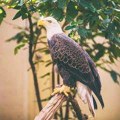 American (Thomas Hawk) Tags: america americanbaldeagle forestpark missouri mo saintlouiszoo stlouis usa unitedstates unitedstatesofamerica baldeagle bird eagle zoo fav10