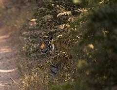 Out of the Jungle (WhiteEye2) Tags: bengaltiger tiger wildlife nature ranthambhorenationalpark india jungle bigcats